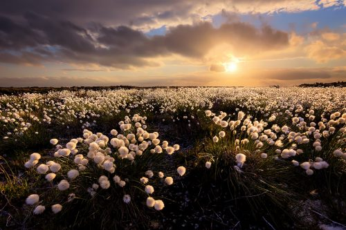 Cotton Grass sunset - Peak District photography prints