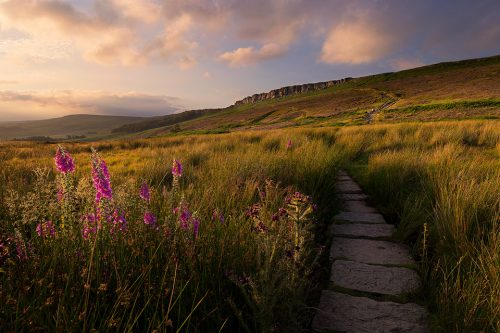 Stanage Edge Foxgloves