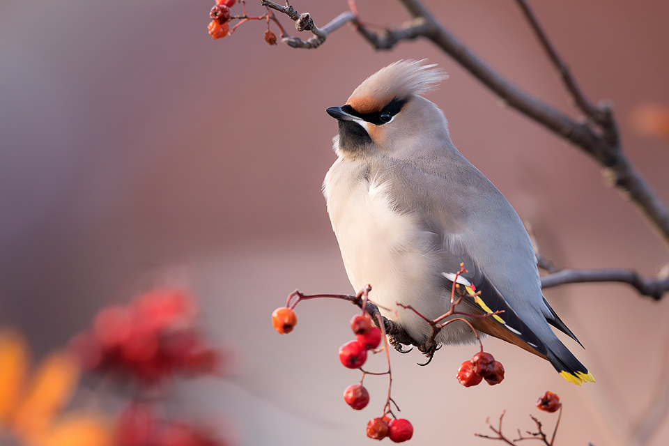Winter Waxwing - Peak District Wildlife Photography