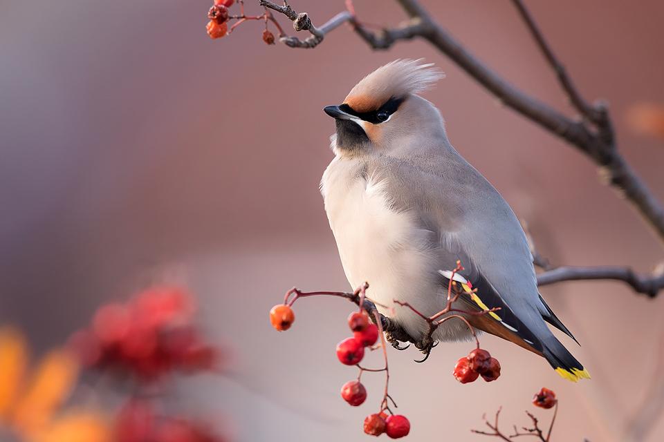 Winter Waxwing - Peak District Wildlife Photography