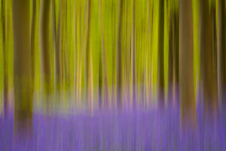 Abstract Bluebell Woods