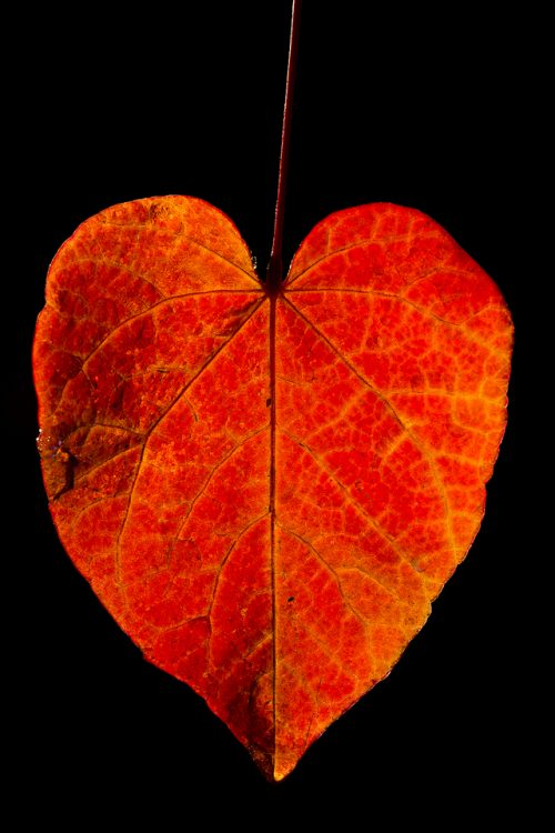 Frosty Autumn Leaf