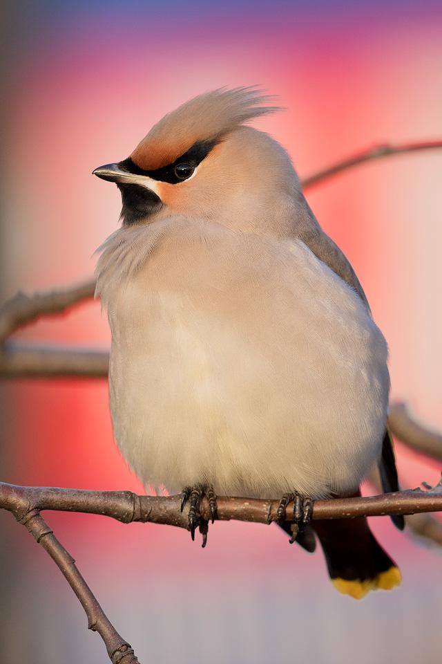 Waxwing - Peak District Wildlife Photography