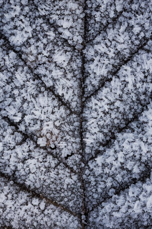 Hoar Frosted Leaf - Peak District Nature Photography