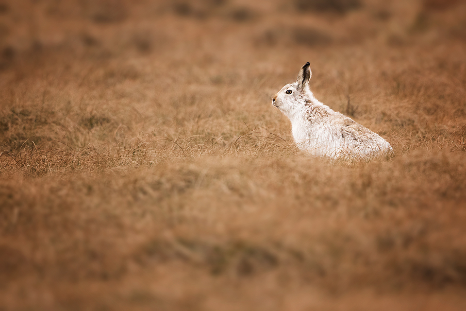 Mountain Hare in long grass - Mountain Hare Photography Workshop