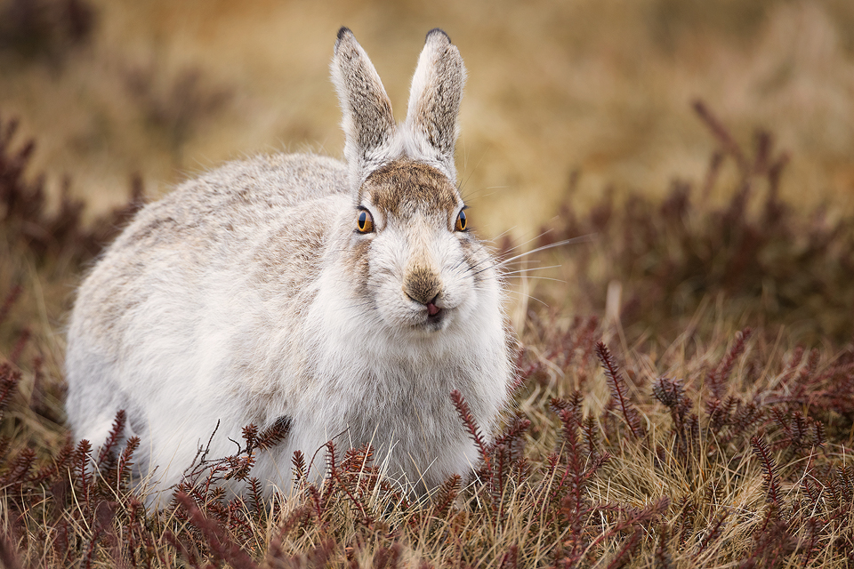 Eating Mountain Hare - Mountain Hare Photography Workshop