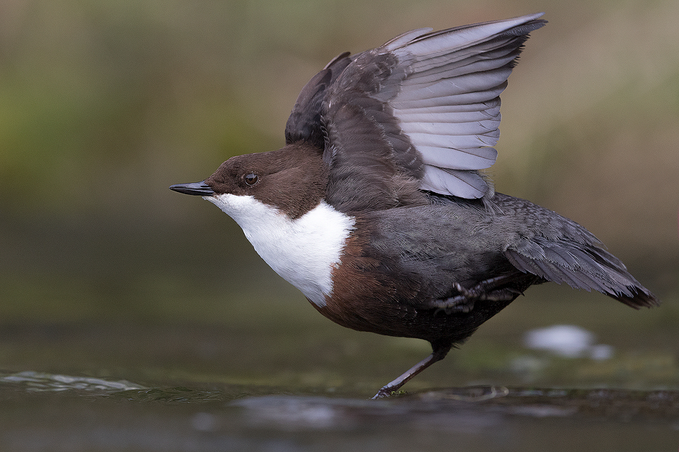 Stretching Dipper - Peak District Wildlife Photography