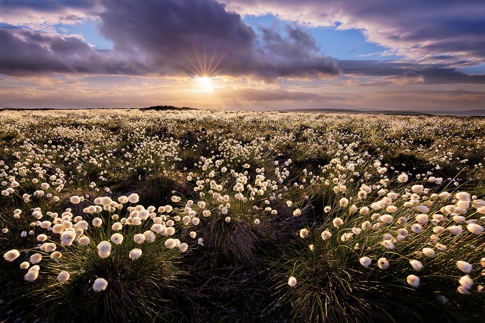 Wildflower Photography Workshop - Cotton Grass