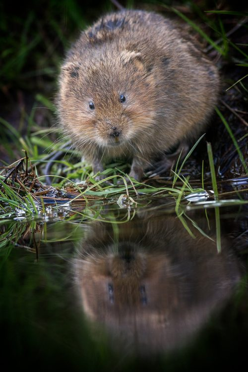 Water Voles - Peak District Wildlife Photography