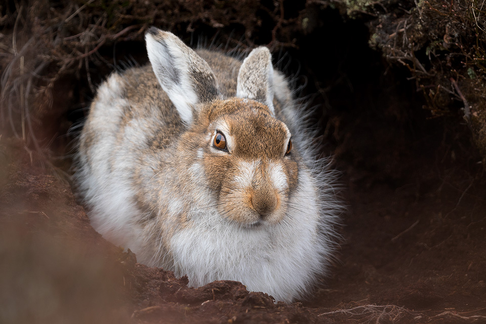 Patchy Mountain Hare - Mountain Hare Photography Workshop