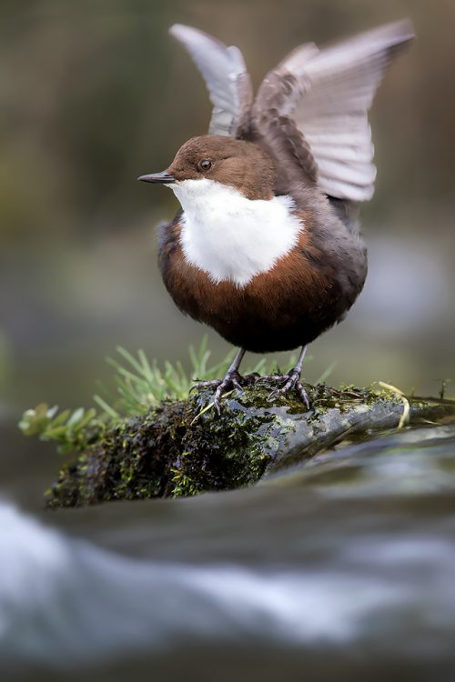 Derbyshire Dipper - Abstract wing flap with smooth flowing waterfall