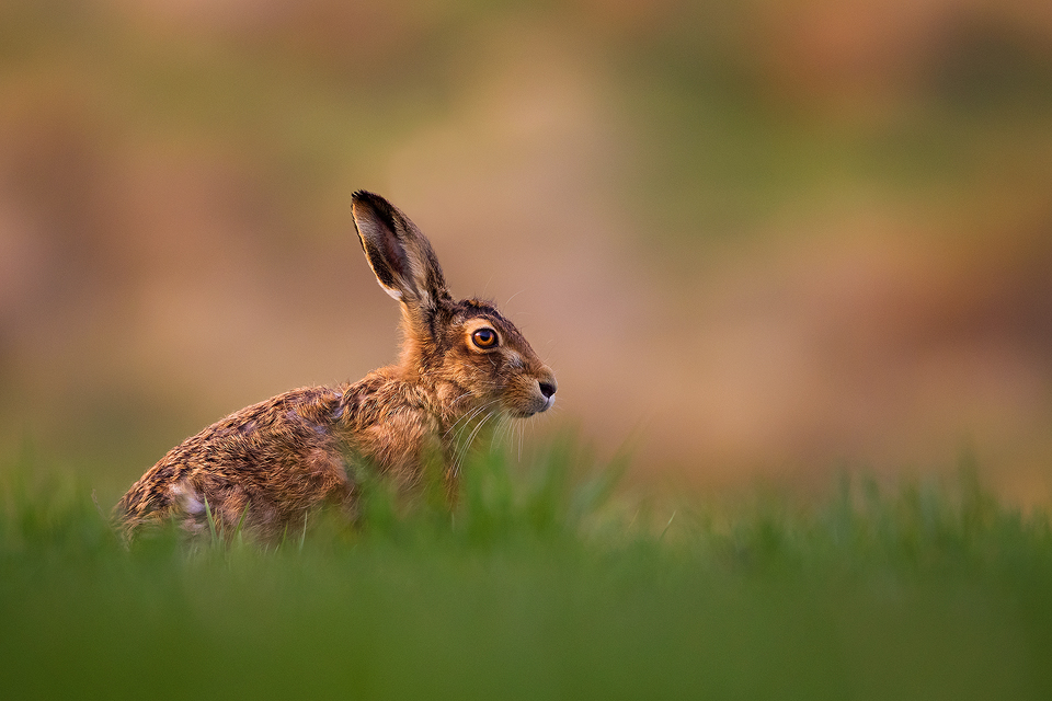 Wildlife Photography Workshop - Brown Hare