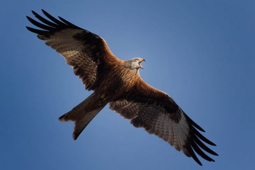 Calling Red Kite - Yorkshire