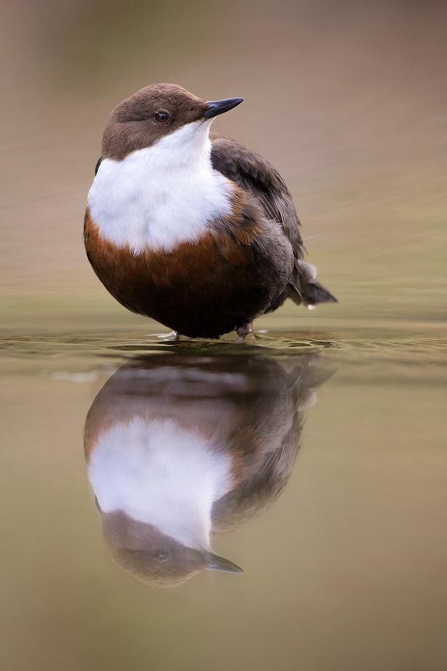 Derbyshire Dipper - Dipper Reflection - Peak District Wildlife Photography
