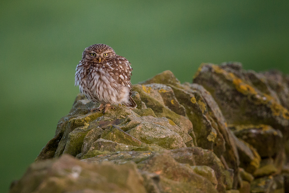 Wildlife Photography Workshop - Little Owl