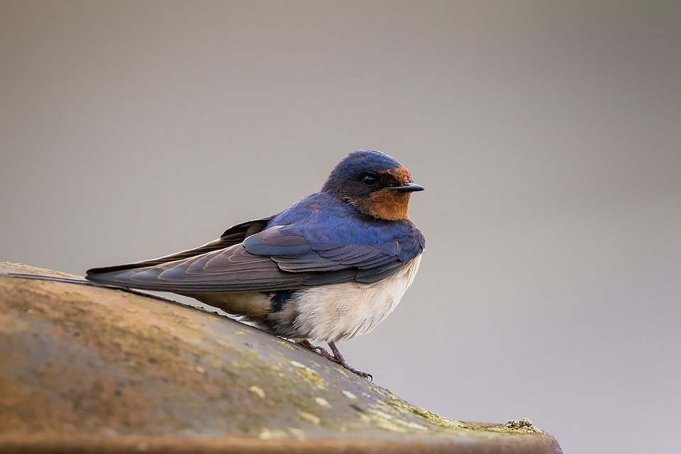 Wildlife Photography Workshop - Swallow