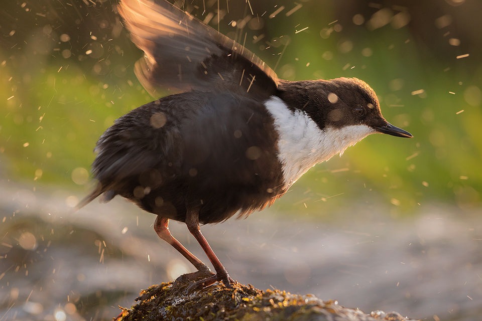 Derbyshire Dipper - Dipper shaking excess water off its feathers- Peak District Wildlife Photography