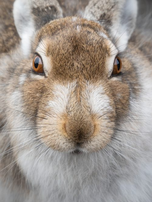 Mountain Hare Close up - Derbyshire, Peak District Wildlife Photography
