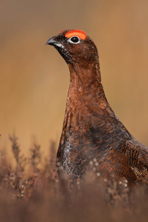 Red Grouse Portrait -Peak District Wildlife Photography