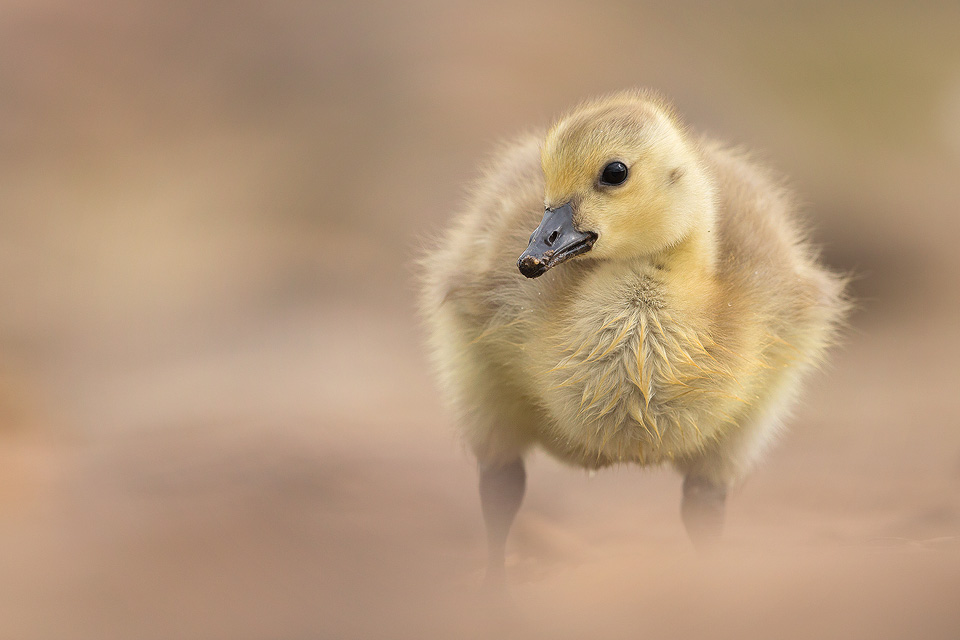 Wildlife Photography Workshop - Canada Goose Gosling