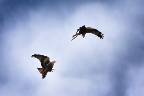 Red Kites in flight - Yorkshire Wildlife Photography