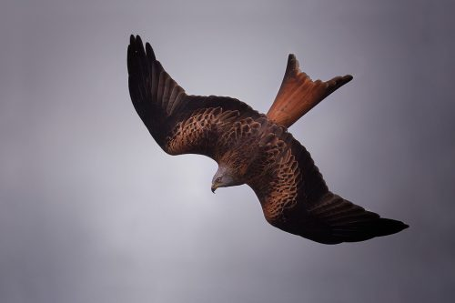 Diving Red Kite- Yorkshire Wildlife Photography