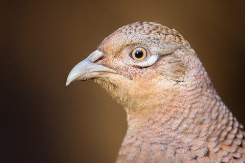 Female Pheasant Portrait - Yorkshire Wildlife Photography