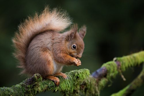 Red Squirrel on a mossy branch - Yorkshire Wildlife Photography