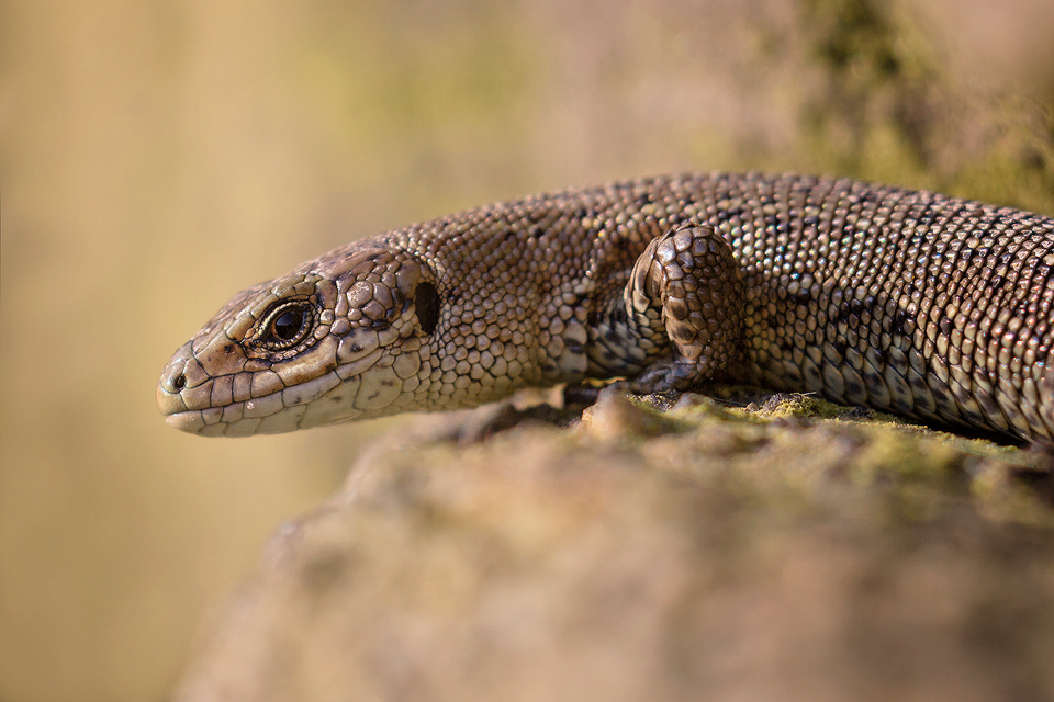 Wildlife Photography Workshop - Common Lizard