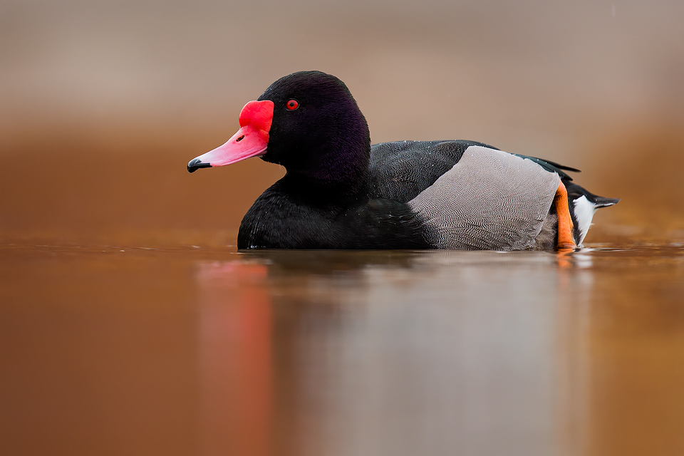 Waterfowl Photography Workshop - Rosy Billed Pochard