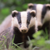 Photographing Badgers