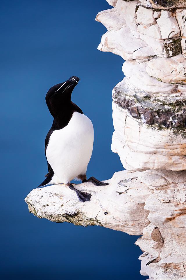 Razorbill Portrait, Bempton Cliffs - Yorkshire Wildlife Photography