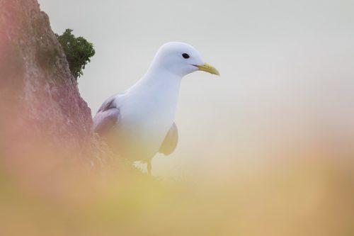 Kittiwake portrait, Bempton Cliffs - Yorkshire Wildlife Photography
