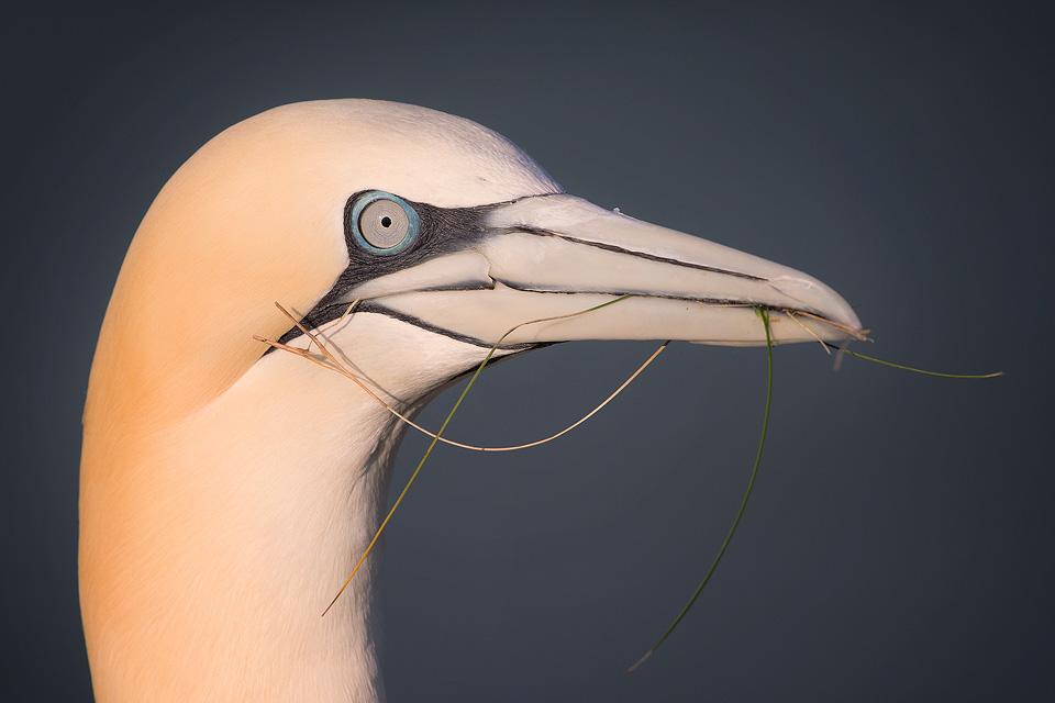 Gannet with nesting materials, Bempton Cliffs - Yorkshire Wildlife Photography