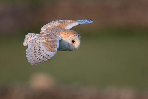 Barn Owl in Flight - Peak District Wildlife Photography