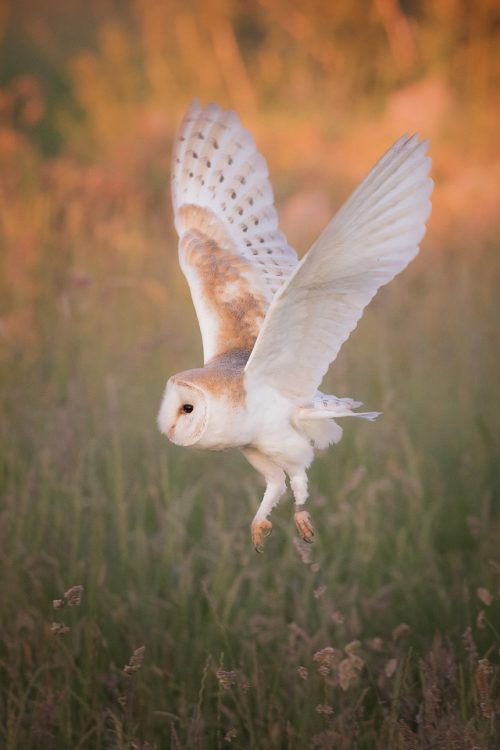 Barn Owl Take Off - Peak District Widllife Photography
