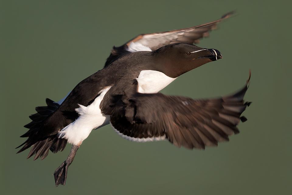 Razorbill in flight, Bempton Cliffs - Yorkshire Wildlife Photography