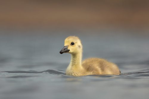 Canada Goose Gosling at water level, Peak District Wildlife Photography.