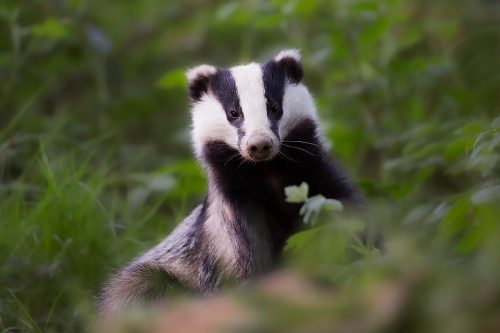 Emerging Badger, Peak District Wildlife Photography