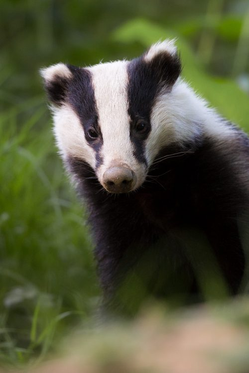 Badger, Peak District Wildlife Photography