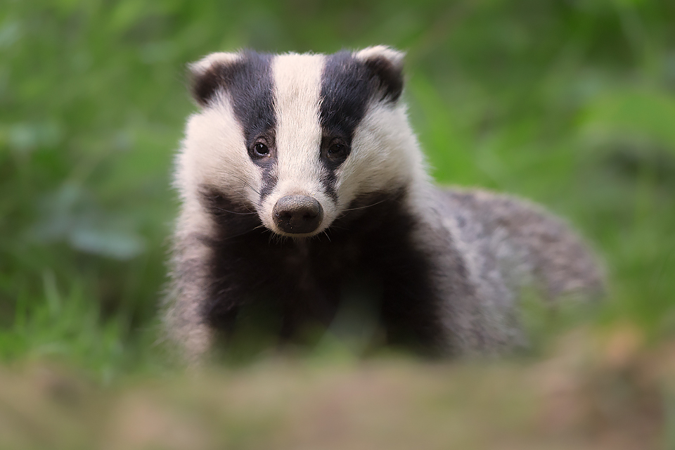 Badger Close up, Peak District Wildlife Photography