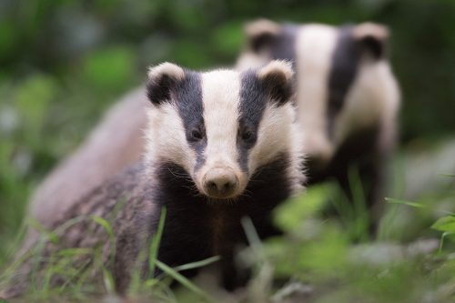 Badgers, Peak District Wildlife Photography