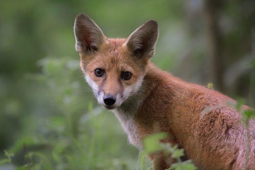Red Fox Portrait - Peak District Wildlife Photography