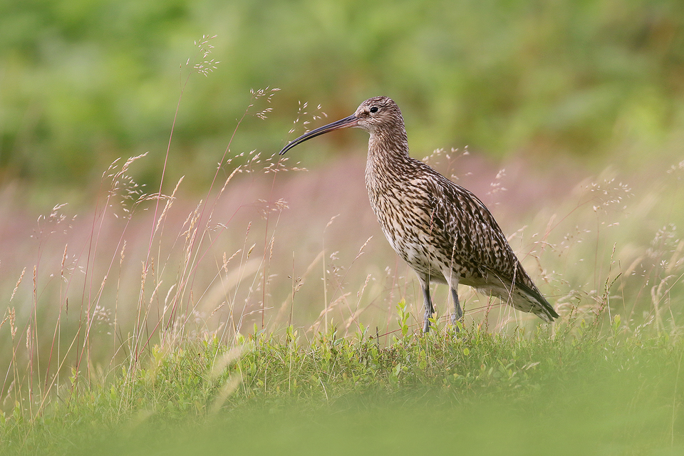 Curlew in typical moorland habitat. Eastern Moors, Derbyshire - Peak District Wildlife Photography
