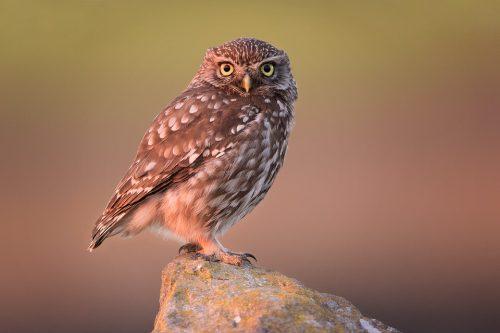 Little Owl bathed in red sunset light - Peak District National Park