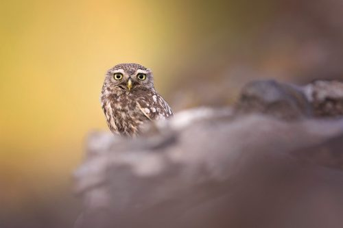 Adult little owl on a drystone wall bordering arable fields - Peak District Wildlife Photography