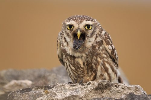 Little Owl coughing up a pellet - Peak District Wildlife Photography