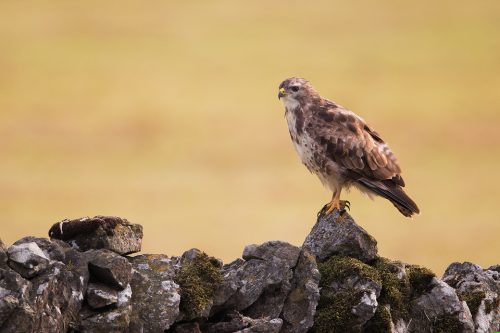 Common Buzzard perched on a drystone wall bordering farmland - Peak District National Park