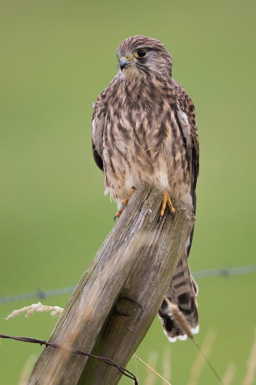Perched Female Kestrel on the edge of a grassy field - Peak District Wildlife Photography