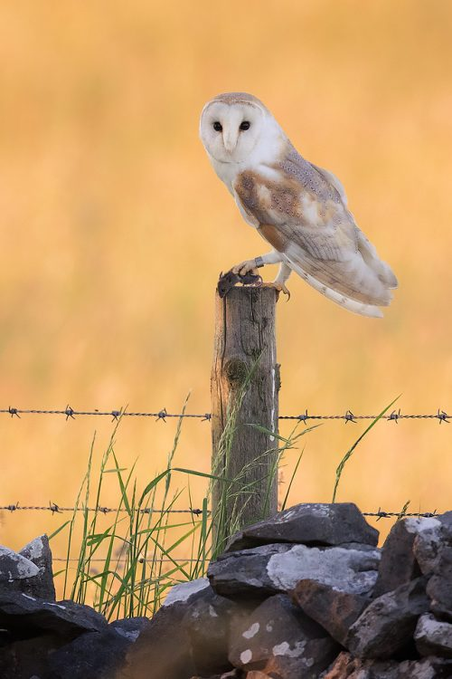 Perched Barn Owl - Peak District Widllife Photography